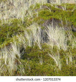 Beach grass and Black Croberry in the dunes of the island of Sylt in Germany