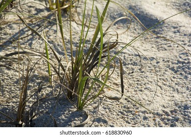 beach grass growing in the sand