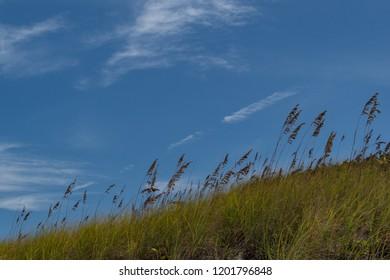 Beach grass on the dunes at Stocking Island Beach, Bahamas.