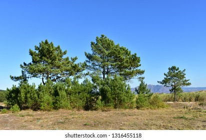 Beach with grass and pine trees, sand dunes and mountain. Blue sky, sunny day. Galicia, Spain.