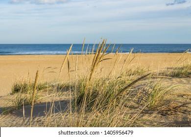Beach grass (sea oats) on Sandbridge Beach in Virginia Beach, Virginia.