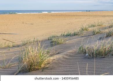 Beach grass (sea oats) and sand dunes on Sandbridge Beach in Virginia Beach, Virginia.