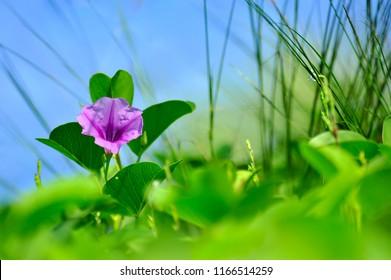 Beach Morning Glory Flower in Bloom. pomoea flowers or Goat's Foot Creeper Flower or Ipomoea pes-caprae