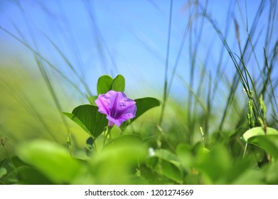 Beach Morning Glory Flower in Bloom. pomoea flowers or Goat's Foot Creeper Flower or Ipomoea pes-caprae. shallow focus.