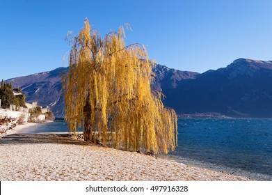Beach near Limone sul Garda in the Garda Lake (Lago di Garda) with a orange weeping willow. Lombardy, Italy, Europe