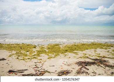 Beach on Itamaraca Island full of Sargassum seaweed (Pernambuco state, Brazil)
