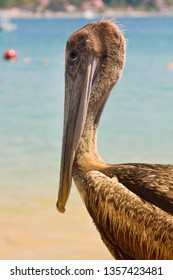 Beach pelican in mexican shore