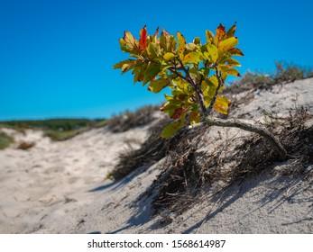 Beach Plum tree growing slanted on sand dune