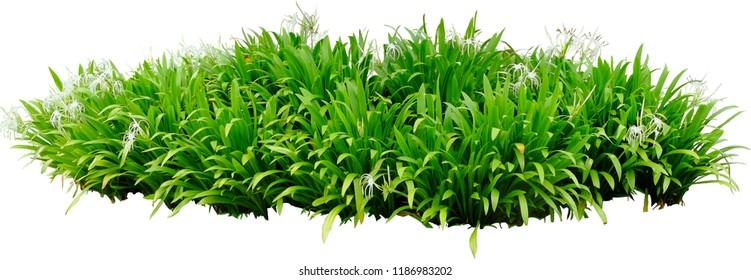 Beach spider lily Embryophyta Flowerpot Houseplant - tropical foliage