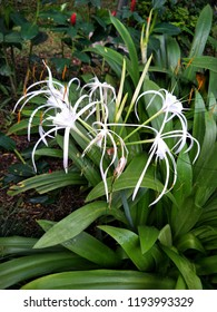 Beach Spider Lily, Spider Lily science name Hymenocallis littoralis(Jacg.)Salisb. family Amaryllidaceae. White flower blooming on tree and light aroma.