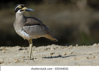 Beach Stone Curlew (Esacus magnirostris), a critically endangered species of coastal bird from NSW, Australia.