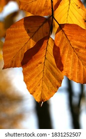 Beach Tree Leaves in Autumn