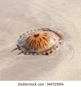 A beached jellyfish (Chrysaora Hysoscella) because of the low tide on a sandy beach of the southwestern coast in Ireland.