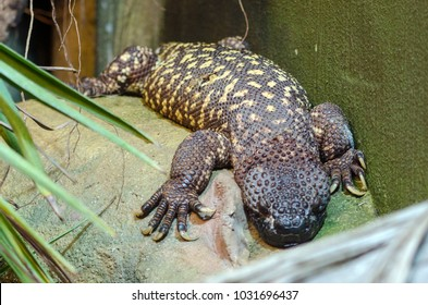 A Beaded Lizard heats itself on a rock