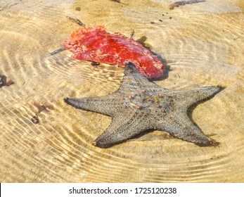 A beaded seastar (Pentaceraster mammillatus) hunting a Spanish dancer (Hexabranchus Sanguineus), before releasing that it is distasteful as warned by its bright colours, in Inhaca Island, Mozambique
