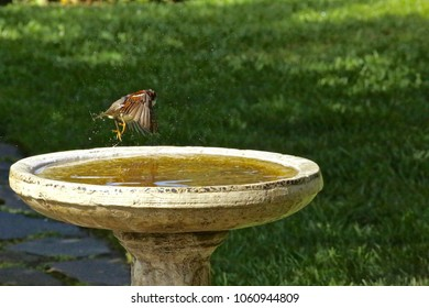 Beads of water fall from this rejuvenated Field Sparrow as it lifts off  from it's backyard wellspring  oasis.