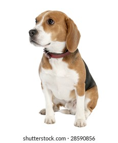 Beagle (18 months old) in front of white background