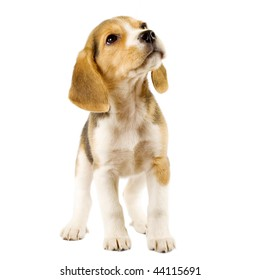 Good Two Beagle Adorable Dog - beagle-2-months-front-white-260nw-44115691  HD_197410  .jpg