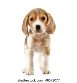 Good Two Beagle Adorable Dog - beagle-2-months-front-white-260nw-48572077  HD_197410  .jpg