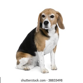 Beagle, 7 years old, sitting in front of white background, studio shot