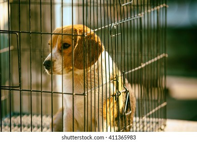 Beagle is alert and cute dog