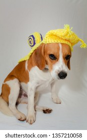 Beagle bicolor brown and white sitting with a cape imitating a snail on the back