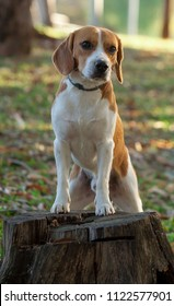 Beagle bicolor caramel and white leaning on a trunk of a tree in a park Lawn