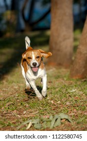Beagle Bicolor caramel and white running with tongue out in a park Lawn with trees and shrubs in the background