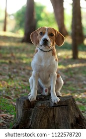Beagle Bicolor caramel and white sitting on a tree trunk in a park Lawn with some background trees