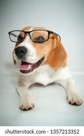 Beagle Bicolor white and brown lying wearing a degree glasses with a slight smile on a white background