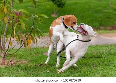 Beagle bicolor and white bull terrier playing from one jump in the other on a grassy square