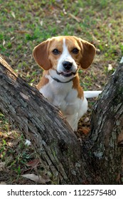 Beagle bicolor white and caramel sitting between two tree trunks on a lawn