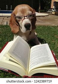 beagle breed dog reading a book