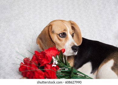 The Beagle is a breed of small-sized hound. A family companion pet.