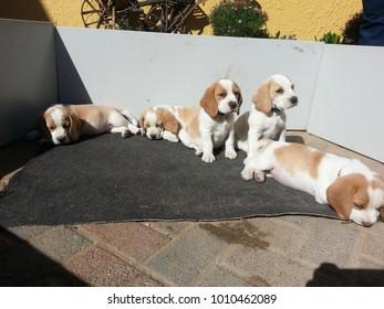 Beagle cute puppy