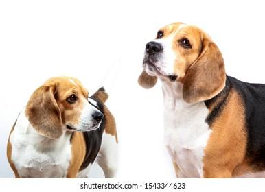 Beagle dog against white background