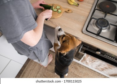 Beagle dog asks for cucumber in the kitchen
