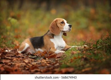 Beagle dog in the autumn park