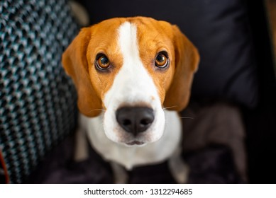 Beagle dog with big eyes sits and looking up towards the camera