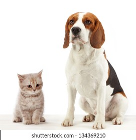 beagle dog and british kitten on white background