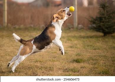 Beagle dog catching ball