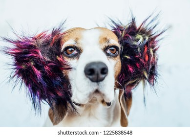 Beagle dog in colorful ear-warmers