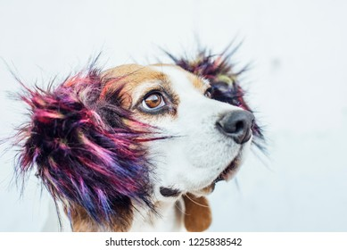 Beagle dog in colorful ear-warmers looking up