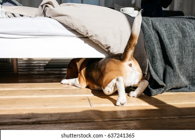 The beagle dog crawls under the bed. On the background of a beautiful stylish room