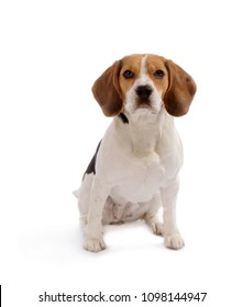 Beagle dog dit down, isolated on white background