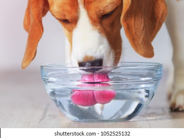 Beagle dog drinking from transparent bowl closeup view. Dog quenches thirst after training.