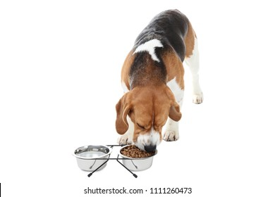 Beagle dog eating dry food from bowl on white background