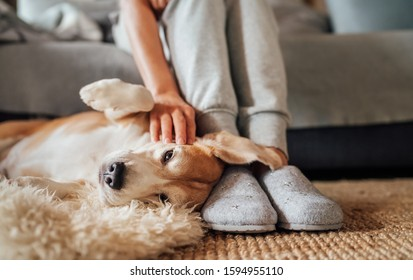 Beagle dog female owner caress stroking her pet lying on the back on natural stroking dog on the floor and enjoying the warm home atmosphere.