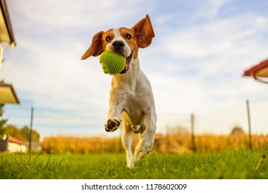 Beagle dog fun in garden outdoors run and jump with ball towards camera