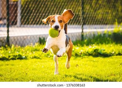 Beagle dog fun in garden outdoors run and jump with ball towards camera. Sunny day in garden